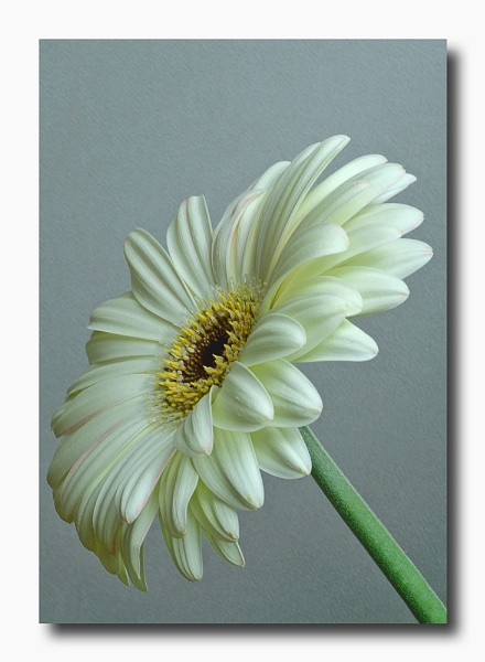 White Gerbera by CathyT