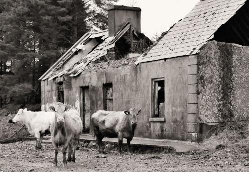 Cows House by Callanan
