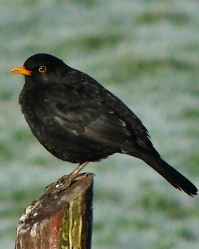 Blackbird by Callanan