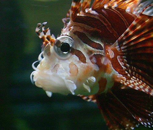 Lionfish by ericfaragh