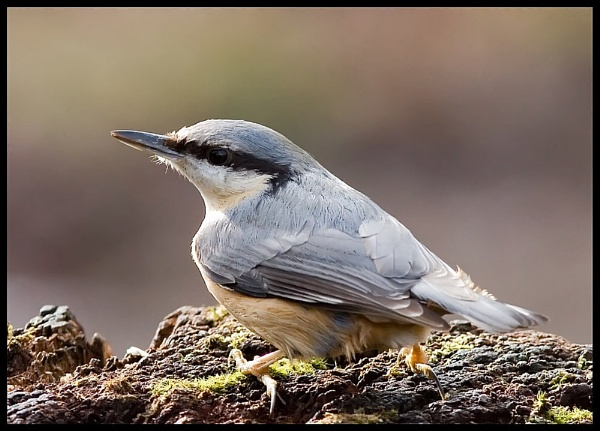 Nuthatch by simon9924