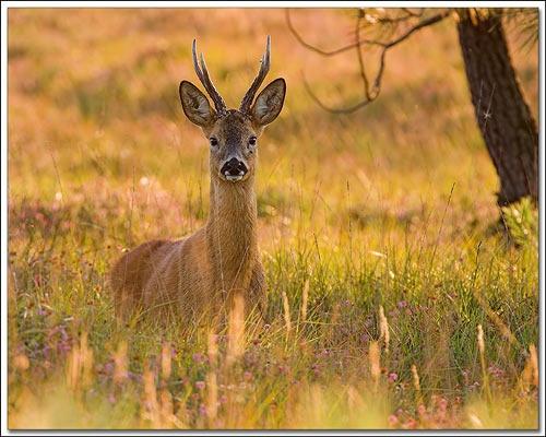 Male Roe deer by justin c