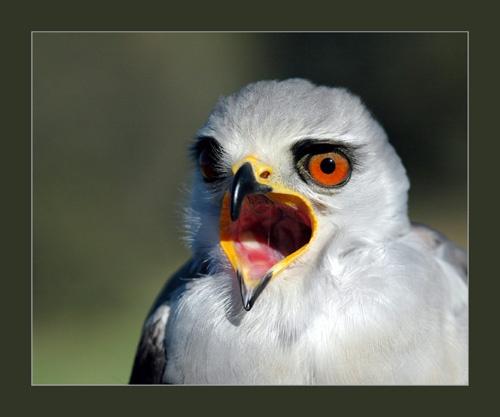 Black Shouldered Kite by sferguk