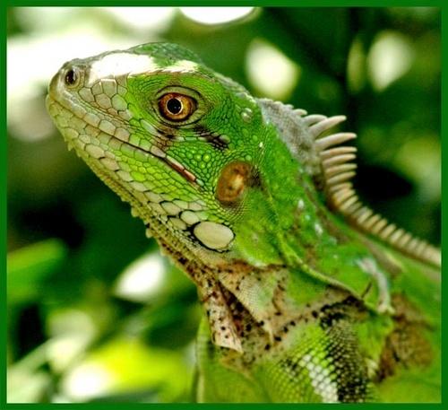 Iguana by l_pire