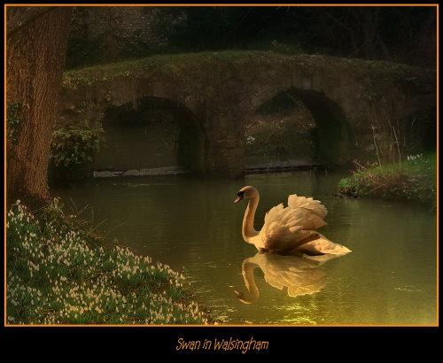 Swan in Walsingham by elaine max