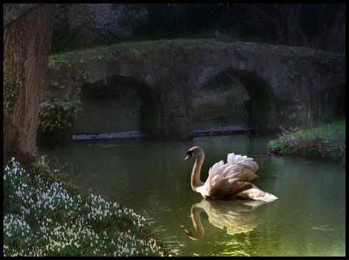 Swan in Walsingham 2 by elaine max