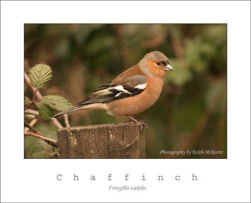 Chaffinch by Keith-Mckevitt