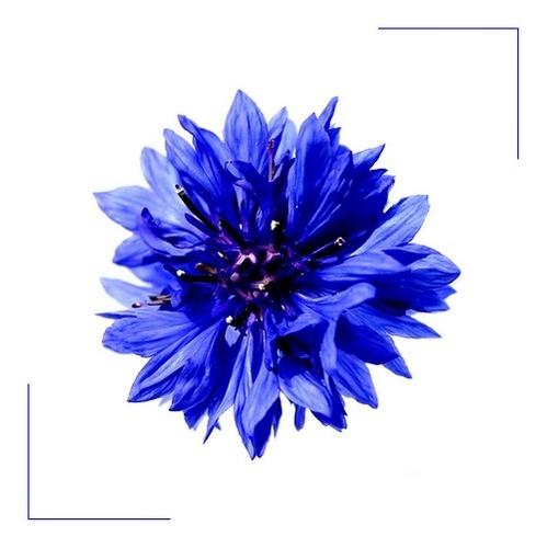 Burst of Blue by dalischone