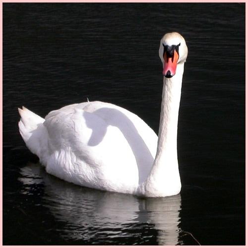 Mute swan by NorahF