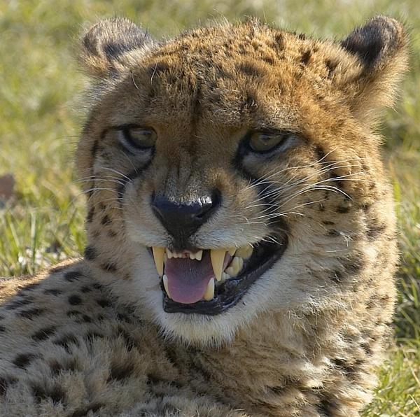 Snarling Cheetah by ReidFJR