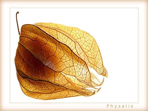 Physalis by chrissycj