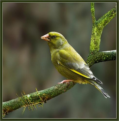 Green finch by Hawkgenes