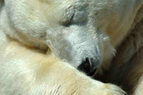 Polar Bear by scotcav