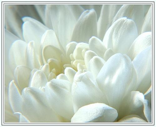 Chrysanthamum by WayneG