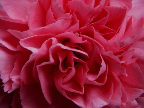 Pink Carnation 2 by robertrshield