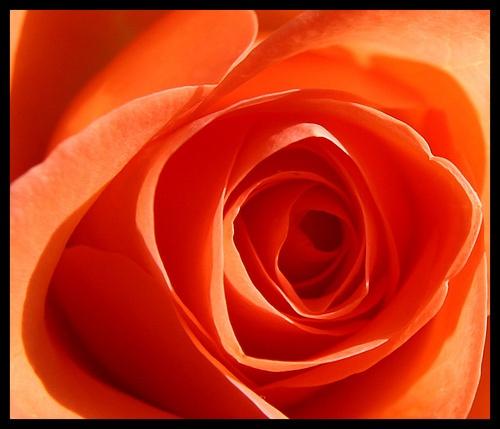 Orange rose by mathugamble