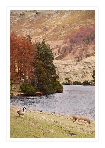 Goose in Derwent Valley by Glynn