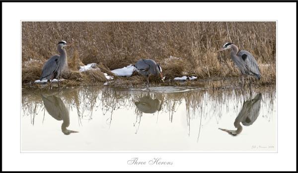 Three Herons by billma