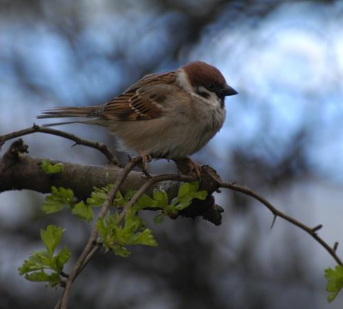 Tree Sparrow by chrisbastow