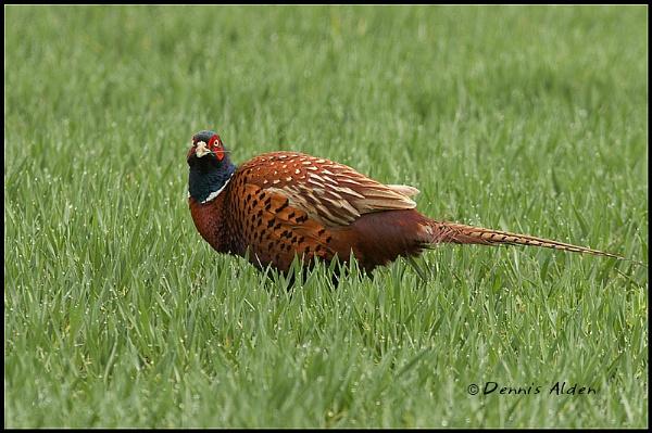 Pheasant by Dennis.Alden