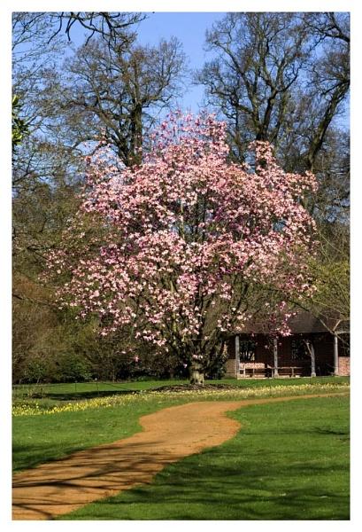 Magnolia by PMeldrum