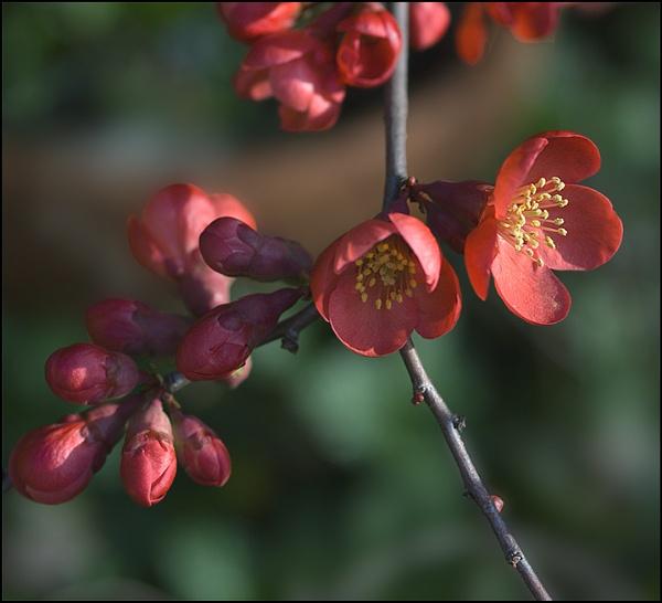 Quince Blossom by laingdonaldson