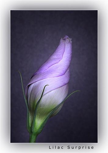 Lilac Surprise by chrissycj