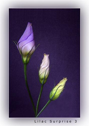 Lilac Surprise 3 by chrissycj