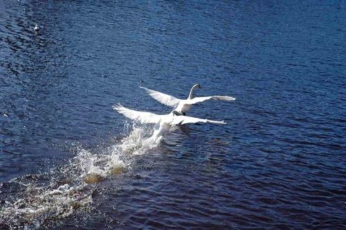 Swan flight by scotcav