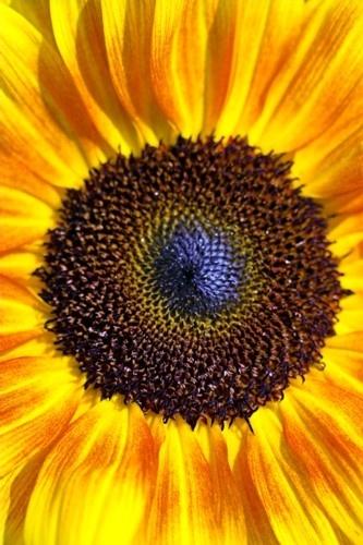 Heart of the Sunflower by davidjenkins