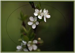damson flower