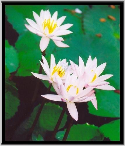 lilies by rajasekaranamie