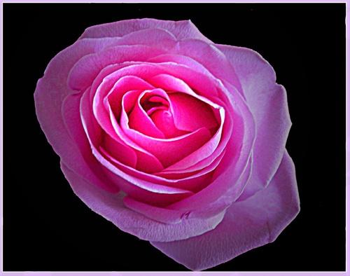 Rose by sotaylor