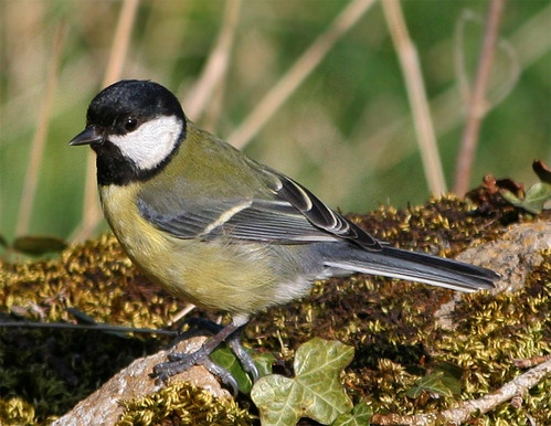 great tit by brainy