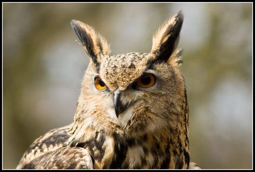 Long eared owl by mumfie2003