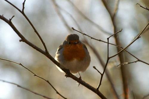 Robin by mark116