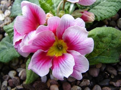 pretty in pink by eraina