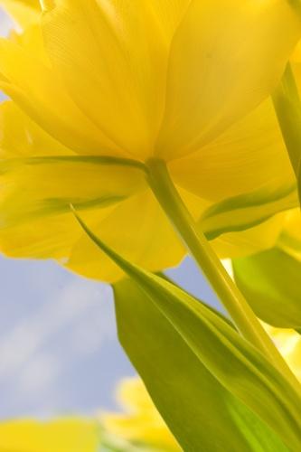 Spring Tulips by afyfe