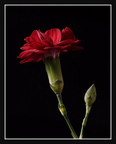 Carnation by fairlytallpaul