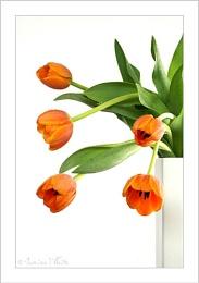 ~ Tulips 2 ~