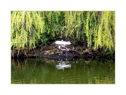 Nesting swan by Dennie