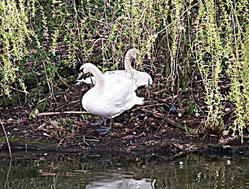 Nesting swans 2 by Dennie