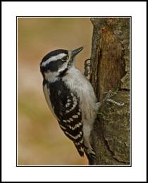 Woodpecker V