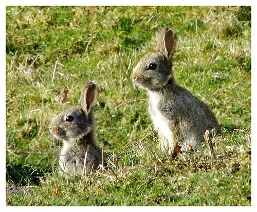Easter bunnies by Hawkgenes