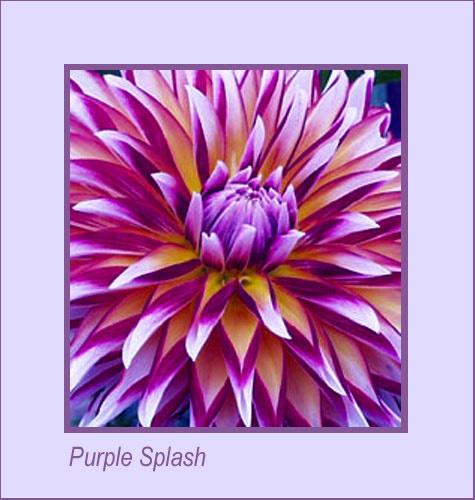 Purple Splash by AnnieK