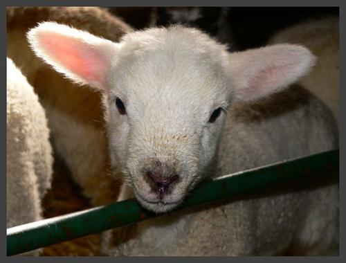 Spring Lamb by scottf75
