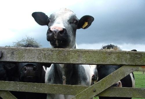 Cow & Gate! by oldbiddy