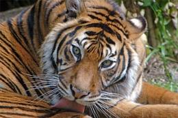 Tiger not burning so bright.