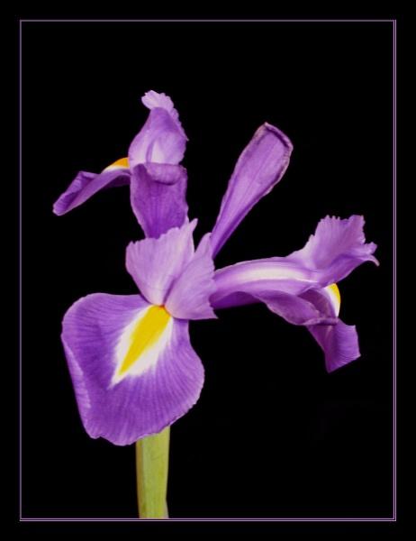 Iris 2 by DolphinLady