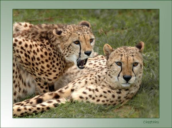 Cheetahs by MikeMar
